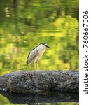 black crowned night heron... | Shutterstock . vector #760667506