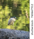 black crowned night heron... | Shutterstock . vector #760667512