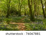 Bluebells along a path in the woods, Tehidy Park Cornwall UK. - stock photo