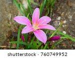 Pink Lily Flower In Garden