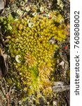 Small photo of Leucobryum and Sphagnum mosses with Cladonia lichen on the ground on Mt. Sunapee in Newbury, New Hampshire.