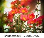 portulaca oleracea.  a biennial ... | Shutterstock . vector #760838932