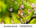 the japanese white eye.the... | Shutterstock . vector #760839442