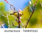 the japanese white eye.the... | Shutterstock . vector #760845262