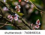 the japanese white eye.the... | Shutterstock . vector #760848316