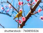 the japanese white eye.the... | Shutterstock . vector #760850326