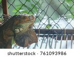 Small photo of Chameleon Iguana The large cage was kept in a cage because it was a foreign animal that came to grow in Thailand and propagated throughout the country so quickly had to be eliminated and controlled.
