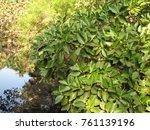 deciduous and coniferous...   Shutterstock . vector #761139196