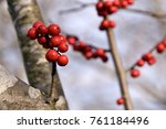 "Small photo of Vivid red fruit and bark of Japanese winterberry - Ilex serrata. It is called ""Ume modoki"" in Japan."