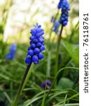 Grape Hyacinth   First Daffodi...