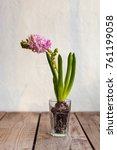 hyacinth flower in a cup   Shutterstock . vector #761199058