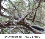 Small photo of Juvenile Abert's Squirrel