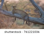 Leopard In Tree In Afternoon...