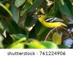 Small photo of Beautiful common iora or Aegithina tiphia
