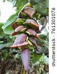 banana plantation  banana trees ... | Shutterstock . vector #761301076