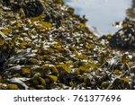 Shells And Seaweed Powillomont...