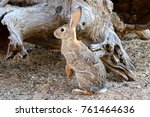 Stock photo wild cottontail rabbit 761464636