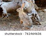 wild cottontail rabbit | Shutterstock . vector #761464636