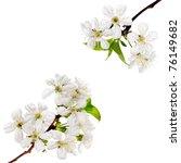 Spring Blossom On White...