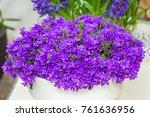 campanula flowers as a... | Shutterstock . vector #761636956