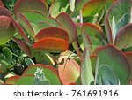 Plakkie Plants With Red Colour...