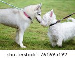 Stock photo siberian husky puppy talking with west highland white terrier with dog leash with green garden 761695192
