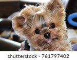 teacup yorkie face | Shutterstock . vector #761797402