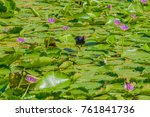 Moorhen On Purple Water Lilies...