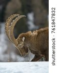 Small photo of ALPINE IBEX IN THE SNOW