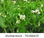 Blooming Garden Pea
