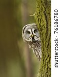 Stock photo the great grey owl or lapland owl strix nebulosa 76186780