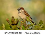 the house sparrow  passer... | Shutterstock . vector #761922508