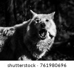 Small photo of White Arctic wolf (Canis lupus arctosportrait) black and white