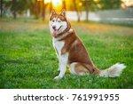 Close Up Siberian Husky Face I...