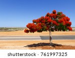 Poinciana Tree   Delonix Regia...