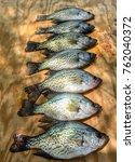 crappie fish displayed on wood...   Shutterstock . vector #762040372