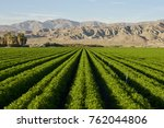 Carrot Field In Indio...