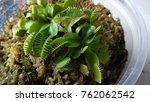 flytrap plant.a bright green...   Shutterstock . vector #762062542