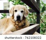 golden retriever dog | Shutterstock . vector #762108322