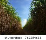 Shade Of Sugar Cane.