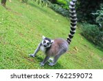 ring tailed lemur picture  | Shutterstock . vector #762259072