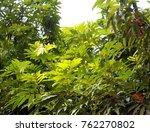 beautiful green leaf on... | Shutterstock . vector #762270802