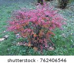 Small photo of Barberry shrub in autumn