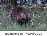 beaver feeding on creek bank | Shutterstock . vector #762492322