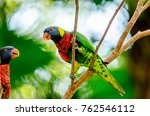 Rainbow Lorikeet Bird Resting...