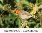 a pretty robin  erithacus... | Shutterstock . vector #762568096