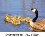 Canada Goose Goslings Swimming...