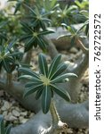 Small photo of close up of pachypodium rosulatum plant from madagascar on stone ground