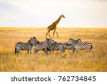 zebras and a giraffe all... | Shutterstock . vector #762734845