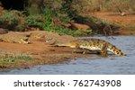 nile crocodiles  crocodylus... | Shutterstock . vector #762743908